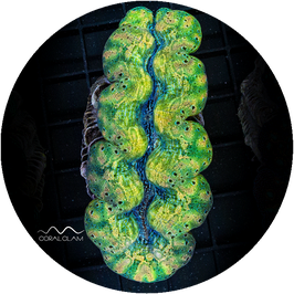 Tridacna crocea Clamantine - 26TcUg74gb7