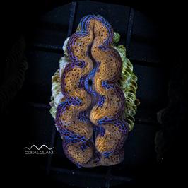 Tridacna crocea - 6TcFg38kb2