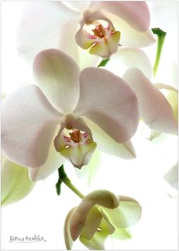 """GALERIE-Bilder-Set """"ORCHIDEE White"""" (2 Stück)"""