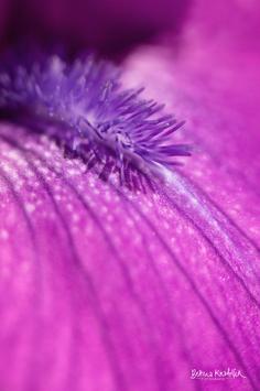 "GALERIE-Bild ""Viola Dream"""