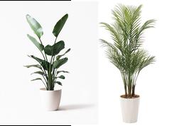 ①【種類選べる】観葉植物10号鉢