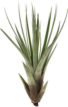Tillandsia fasciculata XL