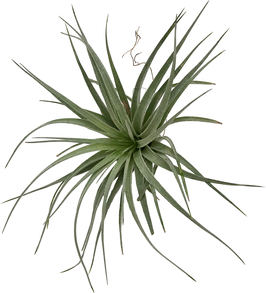 "Tillandsia houston ""Cotton Candy"" ( Tillandsia stricta x Tillandsia recurvifolia )"