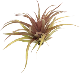 Tillandsia capitata red star L