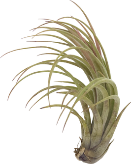 FTillandsia fasciculata x tillandsia  ionantha