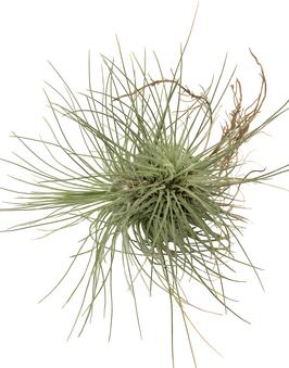 Tillandsia fuchsii gracilis touffe