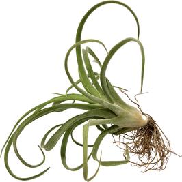 Tillandsiaa darling ( Tillandsia caput medusae x Tillandsia flabellata )