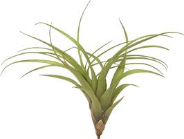Tillandsia polystachia L