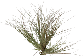 Tillandsia chaetophylla