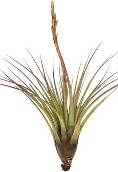 Tillandsia rodriguesiana L