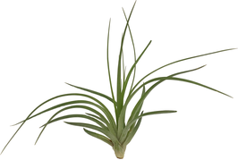 "Tillandsia stricta ""Hard Leaf"""