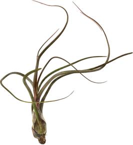 Tillandsia pseudobaileyi M