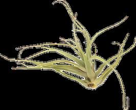 Tillandsia aurea brunea L