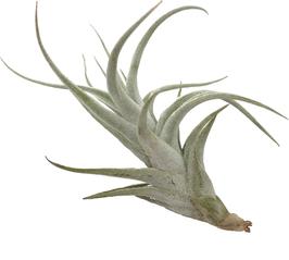 Tillandsia mitlaensis var tulensis L