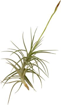 Sweet Isabel (Tillandsia tectorum x Tillandsia paleacea) L