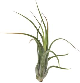 Tillandsia paucifolia L