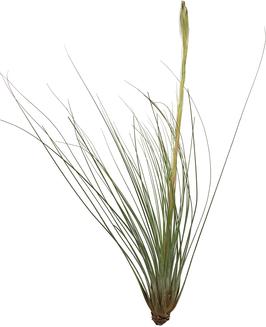 Tillandia juncifolia M