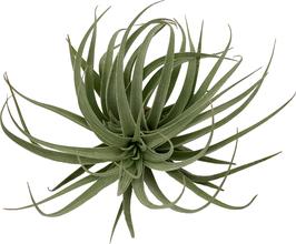 Tillandsia singapore sling ( Tillandsia stricta x Tillandsia recurvifolia var subsecundifolia ) L