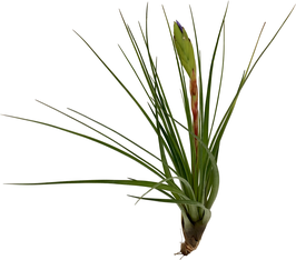 Tillandsia tricolor
