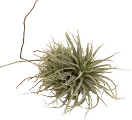 """Tillandsia tectorum """"Fuzzy"""""""