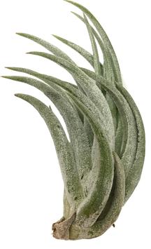 Tillandsia pueblensis M
