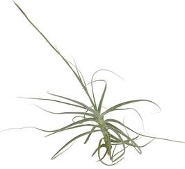 Tillandsia capricorn ( Tillandsia caerulea x Tillandsia straminea )