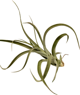 Tillandsia elizabethae