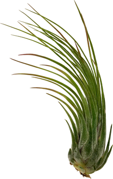 Tillandsia seleriana x Tillandsia paucifolia