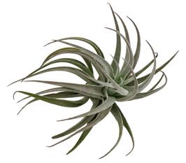 Recurvifolia Sub Secundifolia