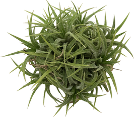 Tillandsia ionantha méxico touffe