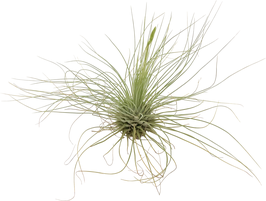 Tillandsia fuchsii gracilis L