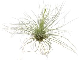 Tillandsia fuchsii gracilis M