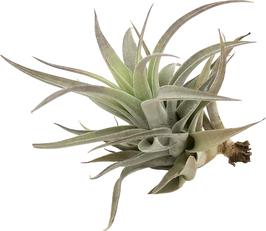 Tillandsia hondurensis L