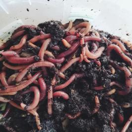 Kompostwürmer Starterpaket