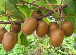 Kiwi les 500 gr