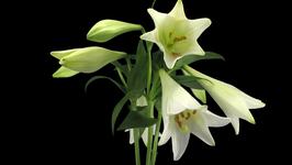 Lys longiflorum (trompette blanche)