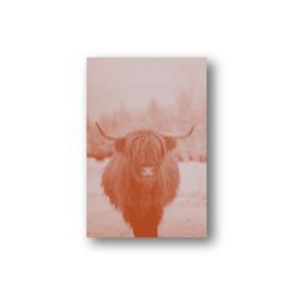 Highland cattle, verschiedene Farbvariationen