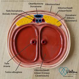 Klitoris-Querschnitt, Reliefmodell