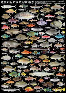 奄美大島 市場の魚100種②