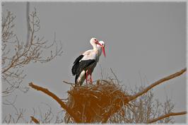 Störche im Nest schwarz-weiß mit Farbakzent