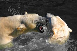 Zwei Eisbären schwarz-weiß mit Farbakzent