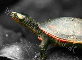 Schildkröte I schwarz-weiß mit Farbakzent