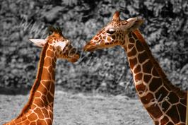 Zwei Giraffen schwarz-weiß mit Farbakzent