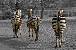 Drei Zebras schwarz-weiß mit Farbakzent