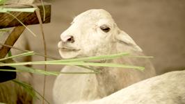 Spenden Sie ein Schaf