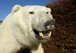 Eisbär - NEUPRÄPARAT