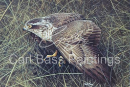 Sparrowhawk On Blackbird