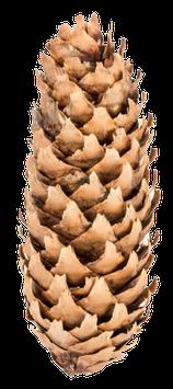 Fichtenzapfen natur - 10 Stck.