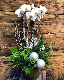 Orchidea di Natale - pianta da interno