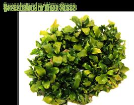 Bucephalandra Wavy Green  inVitro